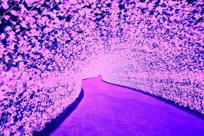 100m続く光のトンネル。一面がラベンダーに染まるこの景色はなんともロマンチック