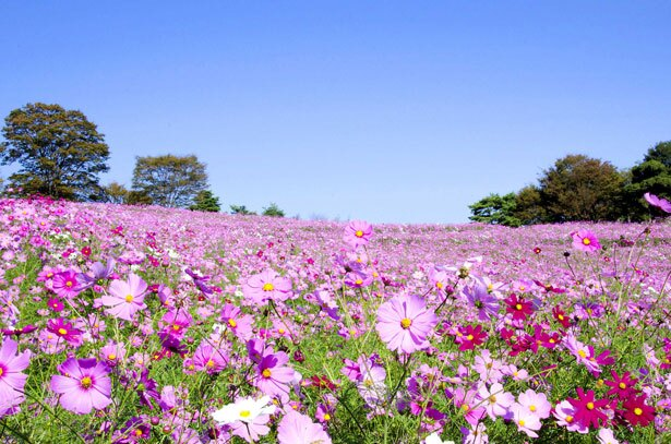鮮やかなコスモスで一面ピンクに染まる「花の丘」
