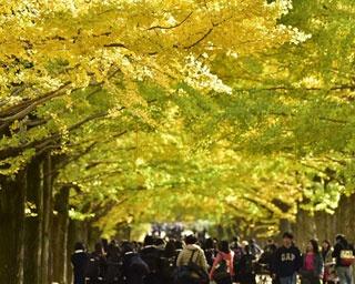 黄金に輝くイチョウのトンネルも!国営昭和記念公園で秋を満喫