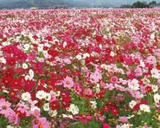 週末のお出かけに!九州のおすすめコスモススポット4選