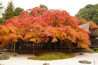 雷山千如寺大悲王院(福岡県糸島市) / 雷山の秋を彩る樹齢400年の大楓