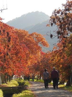 柳坂曽根の櫨並木(福岡県久留米市) / 燃えるようなハゼの風格ある並木道