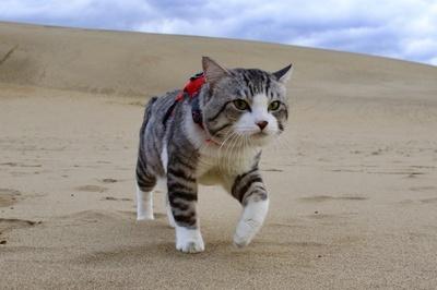 旅猫 ニャン吉の大冒険 / 鳥取県・鳥取砂丘