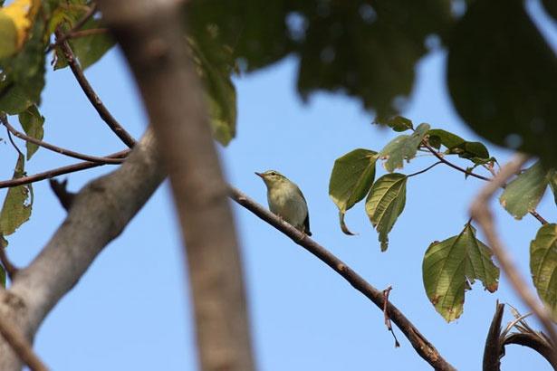 樹海トレイルには渡り鳥のムシクイの姿が。日本の北から南へ移動中みたい。