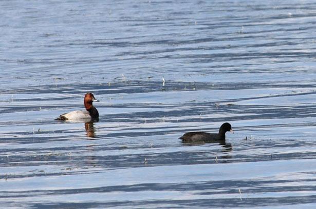 冬に琵琶湖に飛来するホシハジロ(写真左)の姿が。右はオオバン。
