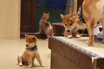 コロコロの小犬たちに癒される!「豆柴カフェ 福岡店」のキュートな柴犬