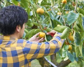 晩秋の行楽に柿狩り体験へ。福岡・田主丸「右田果樹園」でうまい柿みっけ!