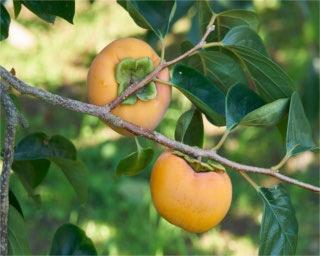 「うきは果樹の村 やまんどん」。甘みの強い「富有」が実る