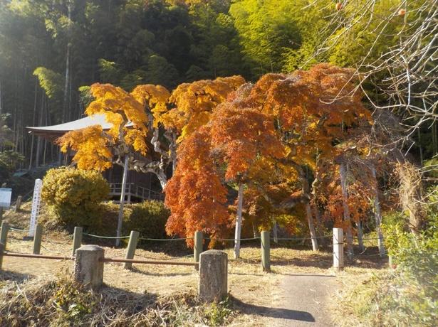 昭和12(1937)年に国の指定天然記念物に指定されているシダレモミジ