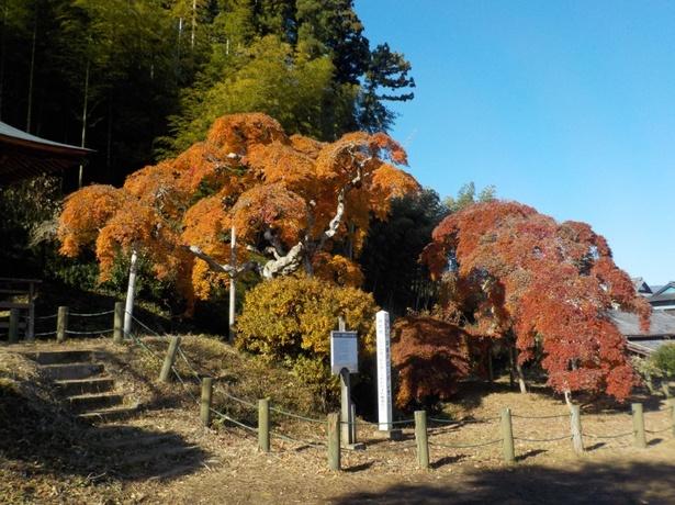 【写真を見る】植物学的にも珍しいシダレモミジを見に、毎年多くの観光客が訪れる