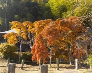 福島県いわき市で真っ赤に染まる「中釜戸のシダレモミジ」の紅葉が見頃