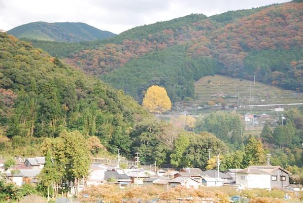 樹齢400年、遠目から見てもわかる大銀杏