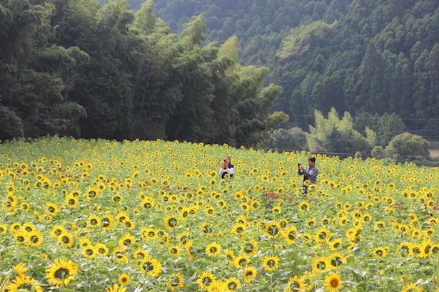 晩秋に10万本のひまわりが開花