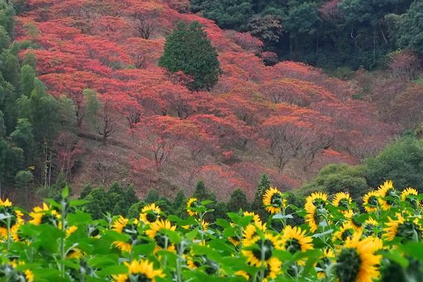 【写真を見る】紅葉シーズンとも重なる。ひまわりと紅葉のコントラストが美しい
