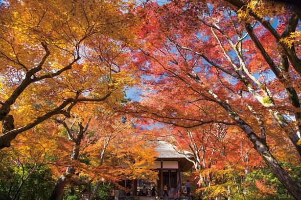 仁王門から本堂へ続く石段は、両わきに並ぶカエデが色付く/常寂光寺