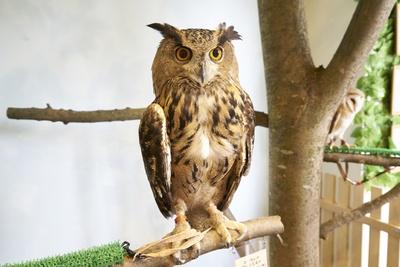 [Moff animal cafe MARK IS 福岡ももち店]種類の異なる3匹のフクロウを観賞できる