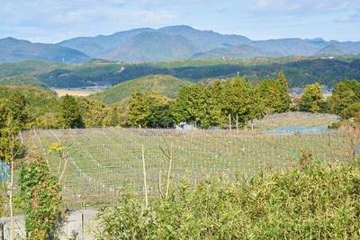 白ワインの品種として知られる、シャルドネの畑