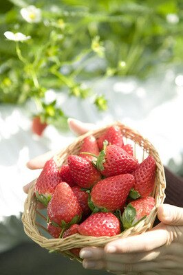 イチゴ狩りイメージ