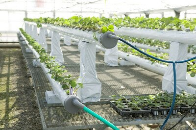 高設栽培の水耕栽培もある