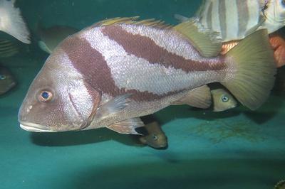 イサキ科ヒゲダイ属の魚のヒゲソリダイ