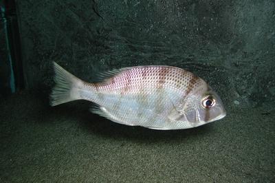 【写真を見る】メイチダイ。タイの名を語っているが本当はフエフキダイ科の魚