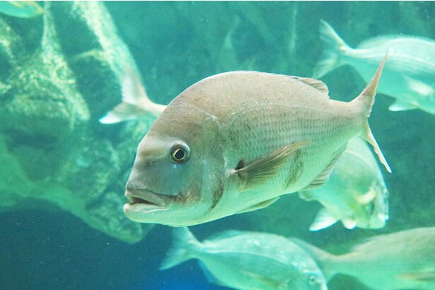 「花は桜、魚は鯛」といわれ、古来から日本で最も愛されてきた魚・マダイ