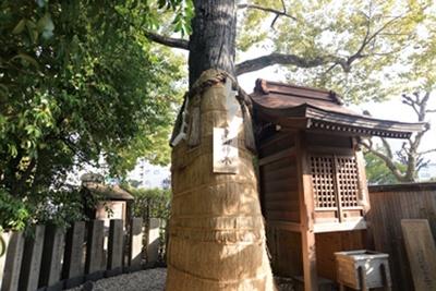 堀越さんの御神木と言われる樹齢550年のクスノキ/堀越神社