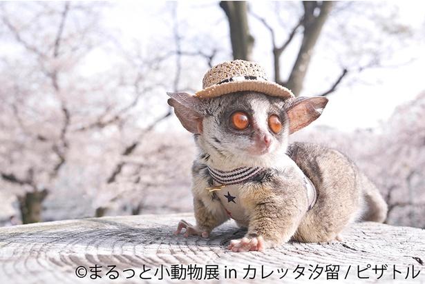 【写真を見る】「ブッシュベイビー」の別名を持つ小動物・ショウガラゴも登場