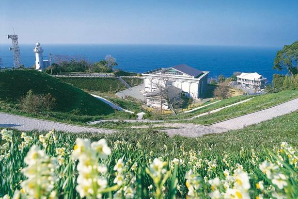 越前町は日本水仙三大群生地の一つとして知られる/「越前岬水仙ランド」