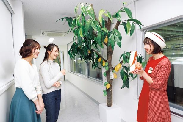製造工程が見られるポッキーファクトリーでは、巨大なカカオの木がお迎え/グリコピア神戸