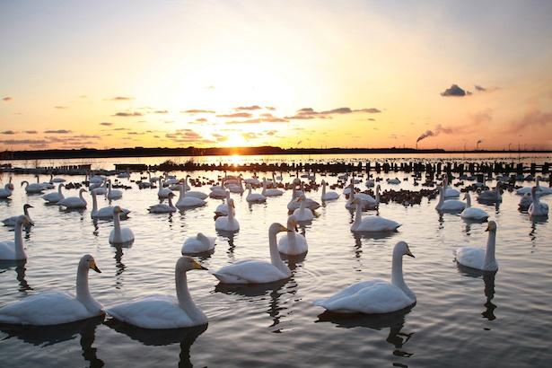 「白鳥の里」白鳥の飛来の風景