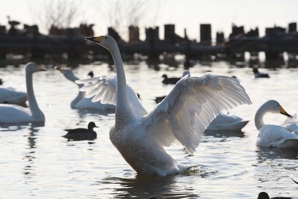 北浦湖岸に飛来した白鳥