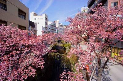 糸川をはさんで咲く、濃いピンクの「あたみ桜」は圧巻