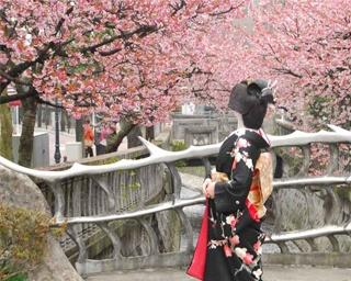 一足早い春の訪れを感じる。静岡県熱海市で「あたみ桜 糸川桜まつり」開催