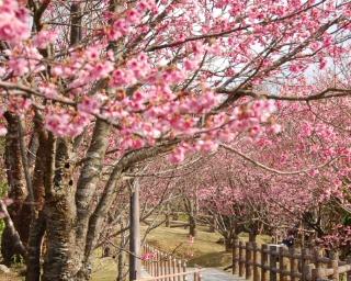 沖縄県名護市で南国の春を感じられる「第57回 名護さくら祭り」が開催