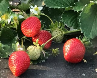 広川いちご園 いちご狩り / 県認証の特別栽培のいちごが食べ放題