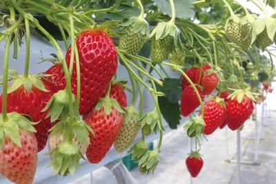 栽培品種は全16種類!常に食べごろのいちごがある/「多度グリーンファーム」
