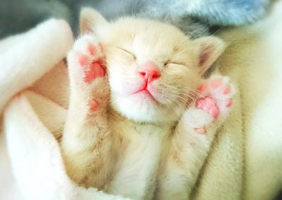 ピンク色のもっちもちな肉球に触りた~い!「はな」