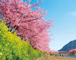 一足早い春の訪れを告げる!静岡県河津町で「第29回河津桜まつり」開催