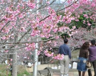 南国・沖縄の春を感じる!「第13回やえせ桜まつり」開催中