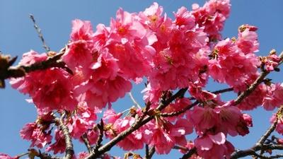 鮮やかなピンク色の花びらが特徴的なカンヒザクラ