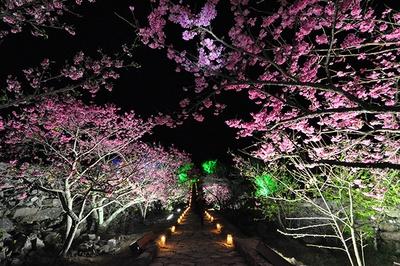 【写真を見る】ライトアップされた桜が幻想的な空間を作る / 今帰仁グスク桜まつり