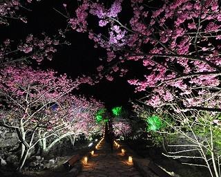 """春を待ちきれない人に見てもらいたい!沖縄の""""散らない""""早咲き桜「寒緋桜」って?"""
