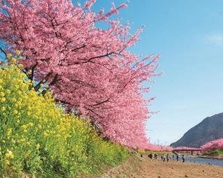 本州で一足早くお花見を!伊豆の早咲き桜「河津桜」はどんな桜?