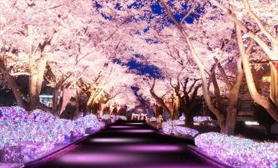 全長180mの桜並木が桜の様に薄いピンクをベースにしたカラーにライトアップ