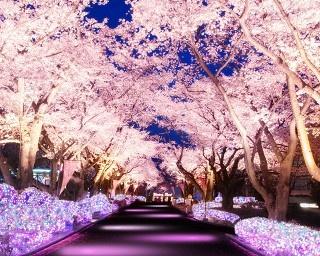夜桜×イルミの新絶景スポット誕生、よみうりランドの「夜桜ジュエルミネーション」