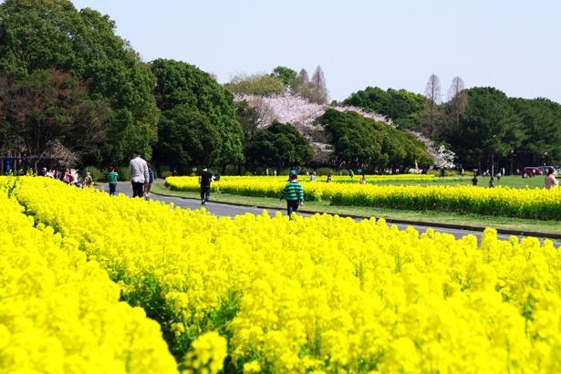 庄内緑地(@shonai_ryokuchi)では、菜の花の絨毯が広がる