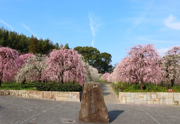 「名古屋市農業センターdelaふぁーむ」(@midori_nougyoucenter)では、園内に700本ものしだれ梅が咲き誇る