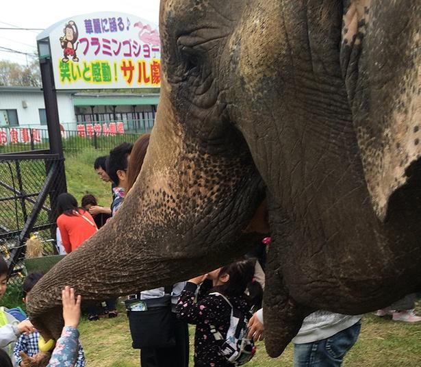 【写真を見る】迫力あるゾウたちと触れ合えるチャンス!