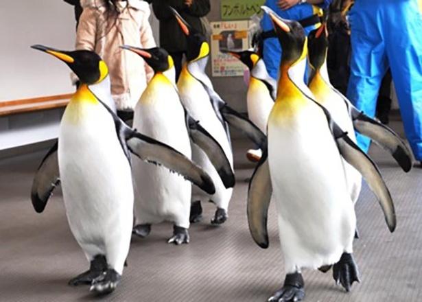 オウサマペンギンが胸を張って歩く姿は愛らしい